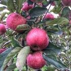 Żywy ocet cydrowy - jabłkowy (8)