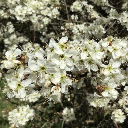 Żywy ocet z tarniny (4)