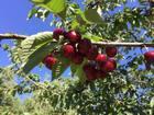 Żywy ocet z wiśni (9)
