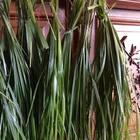 Żywy ocet cydrowy z trawą turówką Żubrówka  (4)